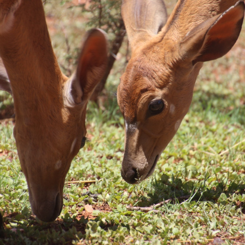 two-brown-deers-on-grass-field-789644